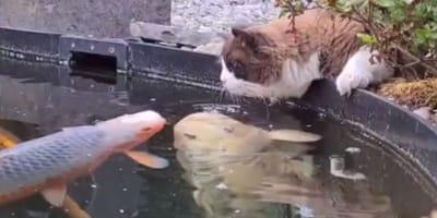 gato muñeco de trapo mirando peces en el estanque