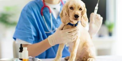 Quante vaccinazioni deve fare un cane?  Vi spieghiamo tutto!