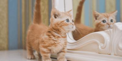 Las razas de gatos pequeños que se quedan chiquitos para siempre (FOTOS)