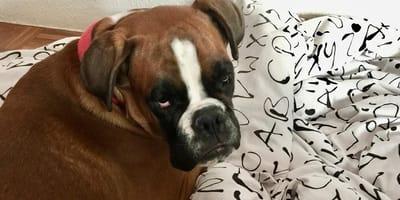 perro boxer tumbado sobre un edredon