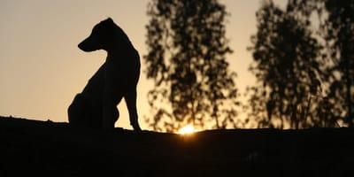 Hund vor Sonnenuntergang