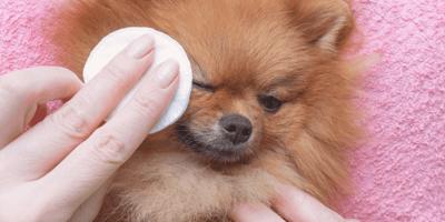 Remedios caseros para la infección de ojos en el perro
