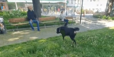 Rottweiler i starszy pan