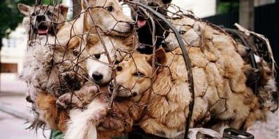 Schlachthunde in einem Netz.