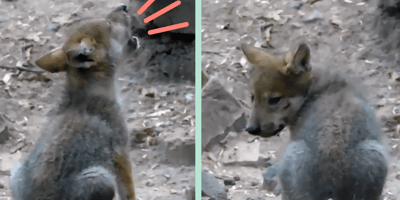 Video: escucha al cachorro que derrite a México con sus aullidos