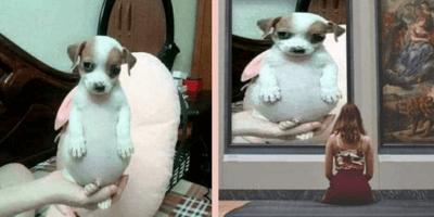 memes del perro panzón