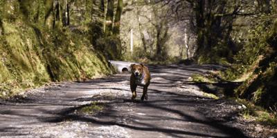 perro de color marron corre por un camino en el bosque