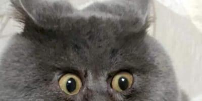 Zdziwiony kot: deformacja pyszczka tego rosyjskiego kota sprawia, że zawsze wygląda na zaskoczonego