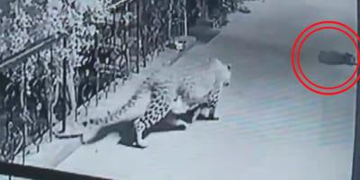Nichts für schwache Nerven: Leopard schleicht sich an schlafenden Hund (Video)