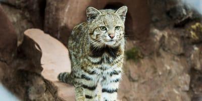 El gato andino: características, dónde vive y causas de su extinción