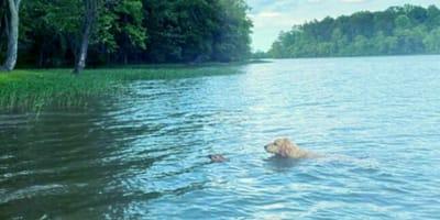 goldendoodle-salva-cerbiatto-al-lago
