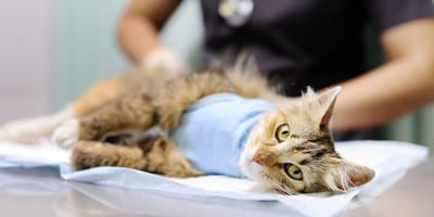 Come avviene la sterilizzazione del gatto maschio?