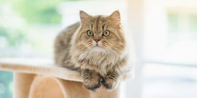 7 fatti curiosi sui gatti Persiani (Foto)