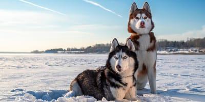 5 razas de perros que parecen lobos