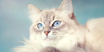 7 razze di gatti con occhi blu (Foto)