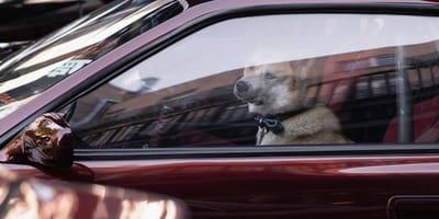 6 minut. Tak szybko umiera pies zamknięty w samochodzie w czasie upałów