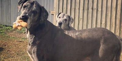 freddy dogo aleman perro mas grande del mundo