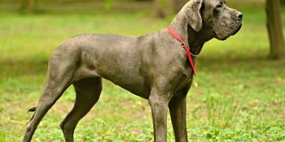 Así es el gran danés, la raza de perro más grande del mundo