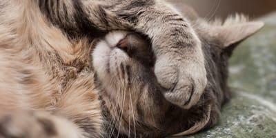 Quali sono i sintomi della filaria nel gatto e cosa fare?