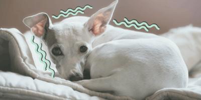 ¿Por qué tiembla mi perro? Causas y soluciones