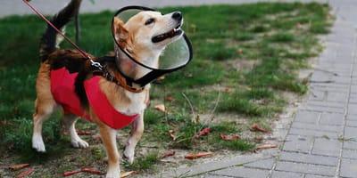Jak i kiedy stosować kołnierz dla psa? Czym zastąpić?