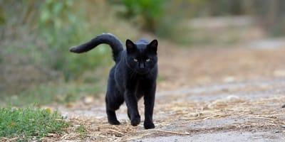 gato negro caminando por la calle