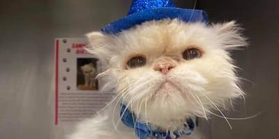 gatto persiano bianco con cappellino blu