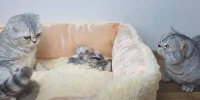 gato acercandose a la cesta de los gatitos