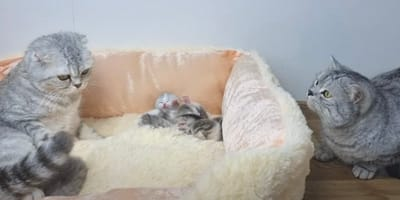 Katzenmama mit Babys im Korb
