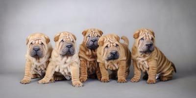 10 razas de perros arrugados