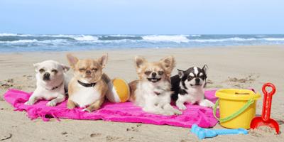 four-chihuahuas-lying-down-on-beach-towel