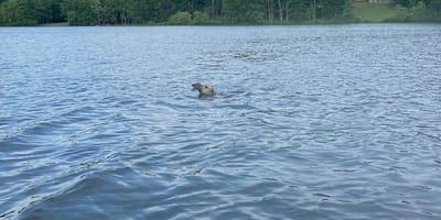 perro rescatando ciervo en un lago