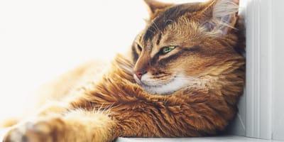 Le 10 razze di gatti intelligenti (Foto)