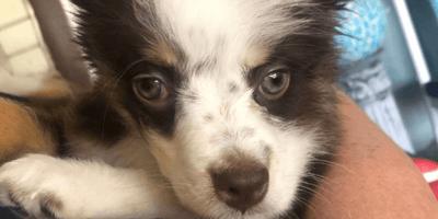 collie-australian-shepherd-mix-puppy