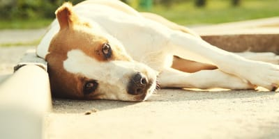 Signs of a heat stroke in dogs: learn about its causes and symptoms!