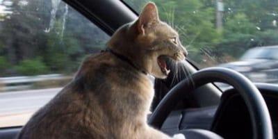 gato atrapado en un coche