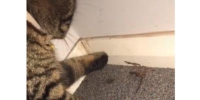 araña patas largas gato