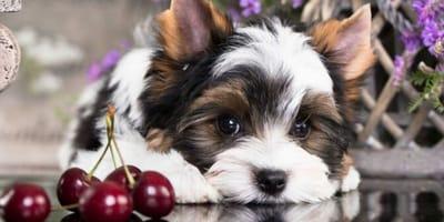 Czy pies może jeść czereśnie?