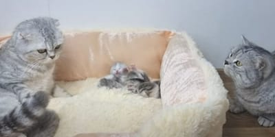 Kot ojciec podchodzi do koszyka z kociętami. 11 mln osób obejrzało to video z zapartym tchem