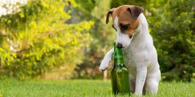 Piwo dla psa – gdzie kupić i jaka jest jego cena?