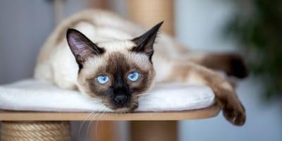 5 leggende e curiosità sui gatti Siamesi (Foto)