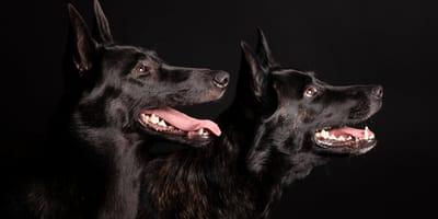 Zwarte hondenrassen: mooi en ongevaarlijk