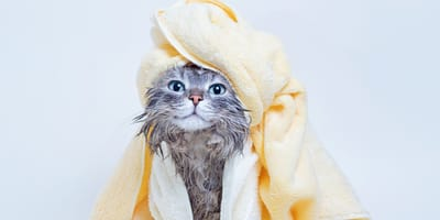 ¿Cómo bañar a un gato correctamente?
