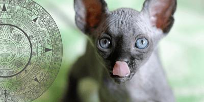 Gato azteca: historia y características de este legendario minino