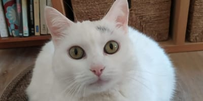 gatta-bianca-in-primo-piano