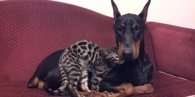 video perro raza doberman juega gato pequeño bengala