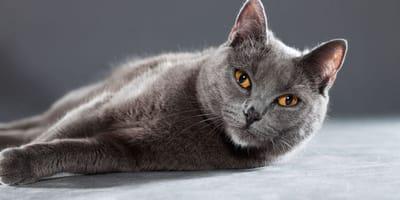 5 cose da sapere sul gatto Certosino (Foto)