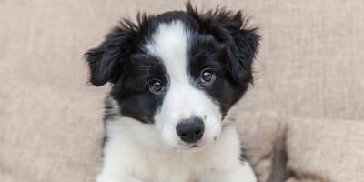 cachorrito de border collie