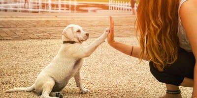 Quello che devi sapere sull'addestramento di un Labrador