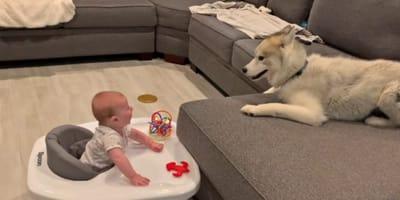 bebe y husky en el sofa